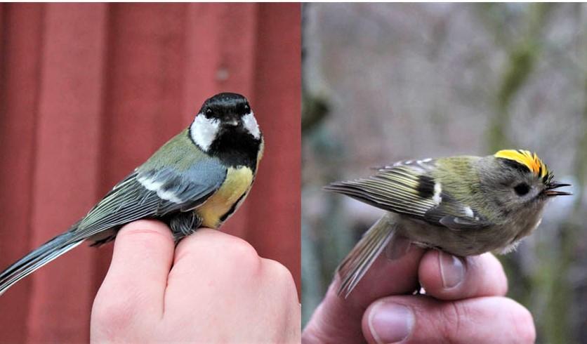 Lintuja rengastettavana Haliaksella eli Hangon lintuasemalla.