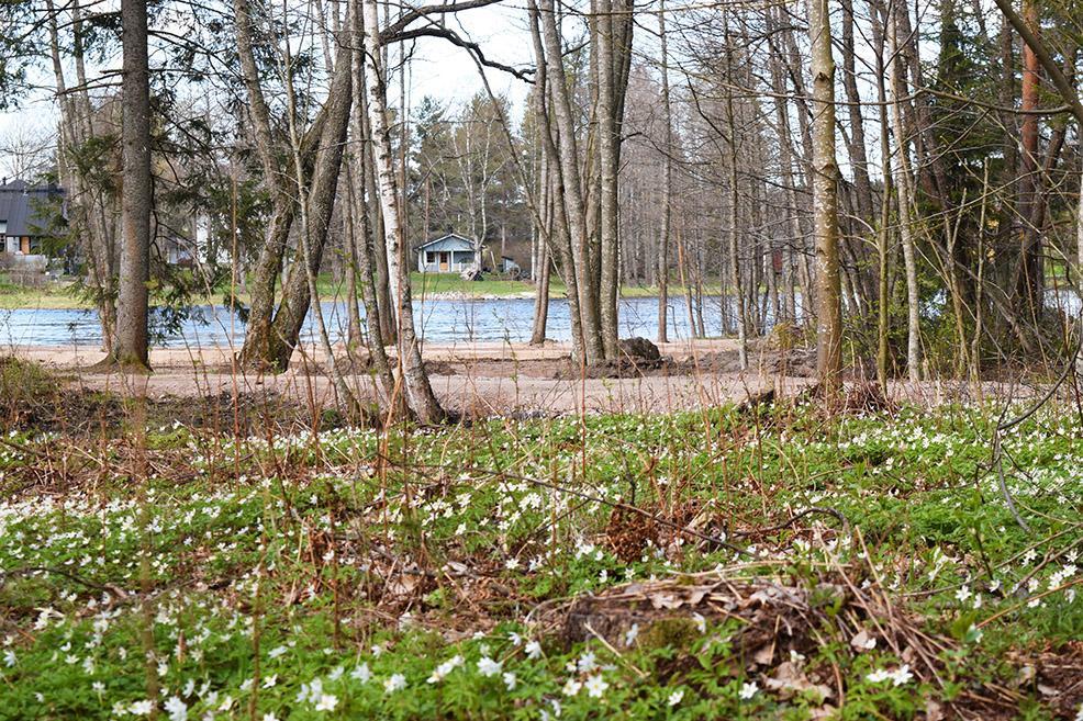 Koskipuistossa on keväisin polun varrella runsaasti valkovuokkoja.