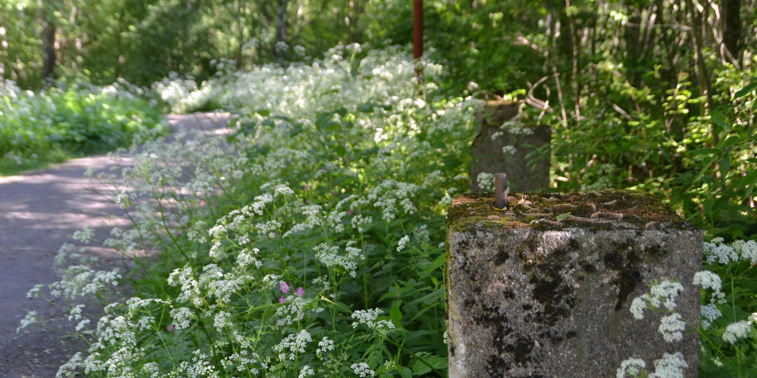 Vehreää luotoa, kukkivaa koiranputkea. Oikealla vanha sammaloitunut betonipaalu, vasemmalla taustalla kareutuva puistokäytävä. Auringon valo tulee puiden runkojen lomista.