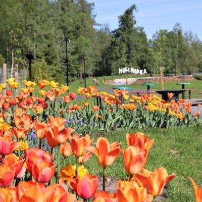 Hollyhaka kyltti ja tulppaanit Brita Marian puistossa